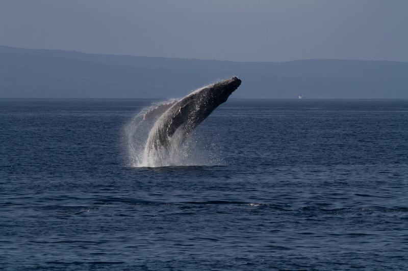 Don't miss the beautiful humpback whales that visit us every year!
