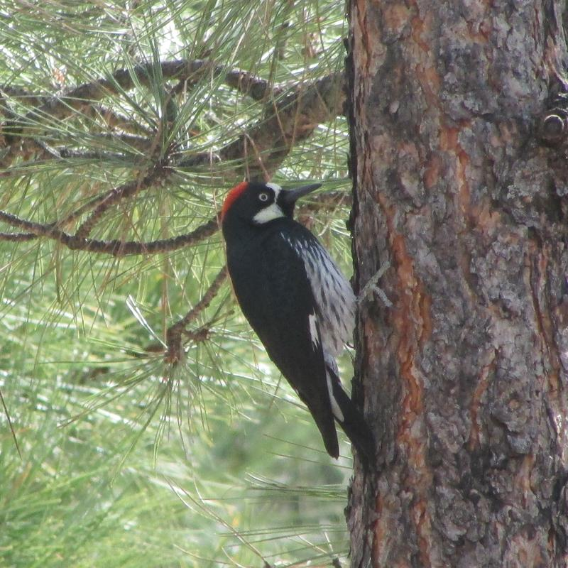 Acorn Woodpecker. One of many birds spotted in our development.